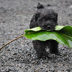 Dog With Leaf Front